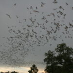 Bats_flying_(9413217529)