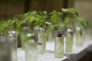 Tomato plants grow in different types of water in Dr. Honglan Shi's research lab.