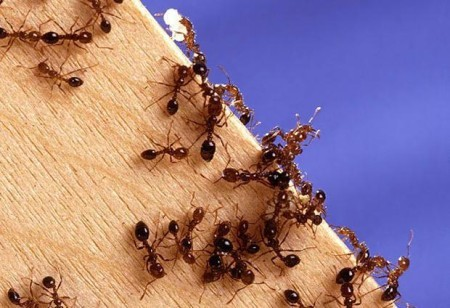 S&T researchers suggest ants need work-life balance to survive