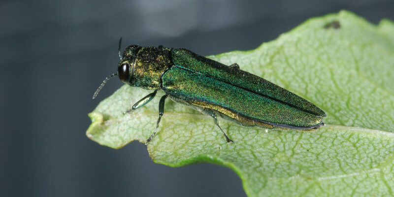 S&T students work to defeat invasive emerald ash borers