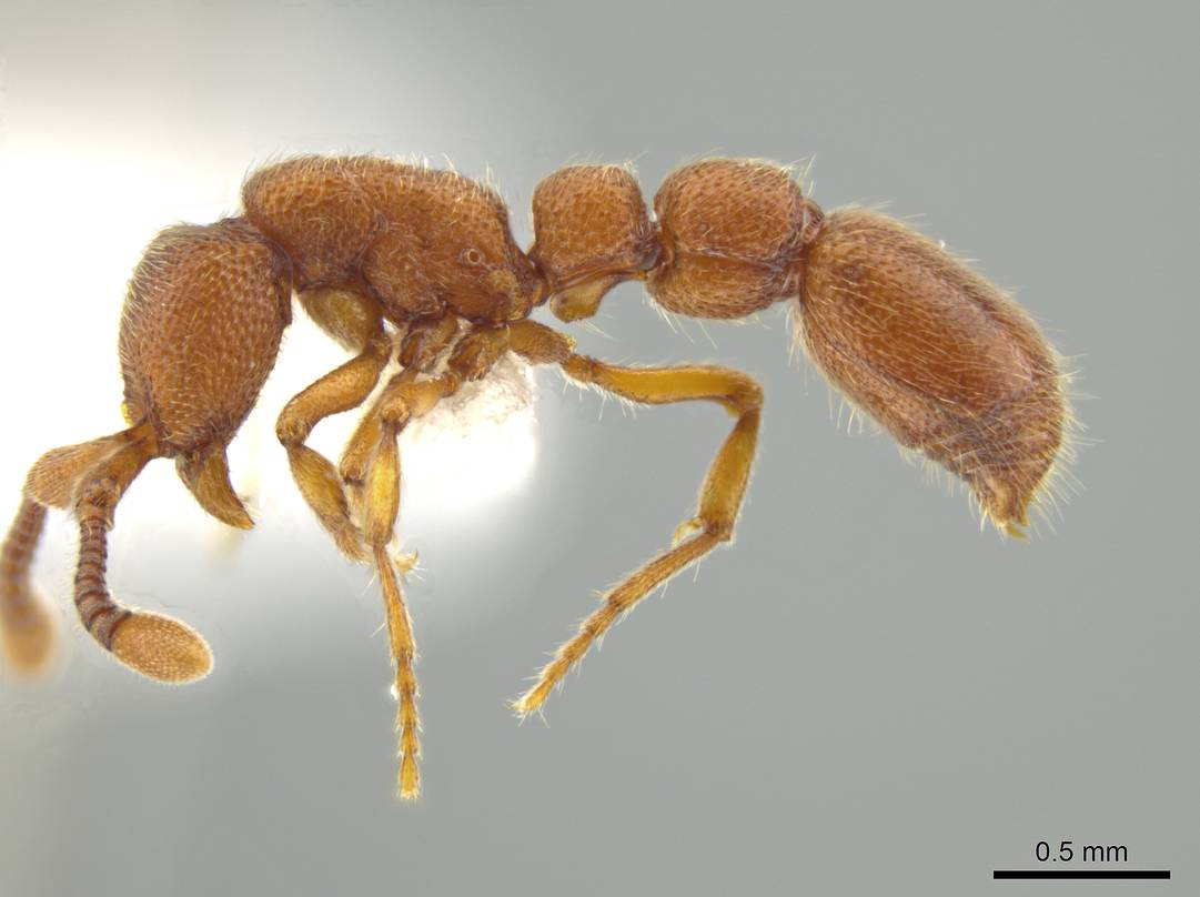 Syscia sumnichti, a newly identified species of ant, was named in recognition of Missouri S&T biologist Theo Sumnicht